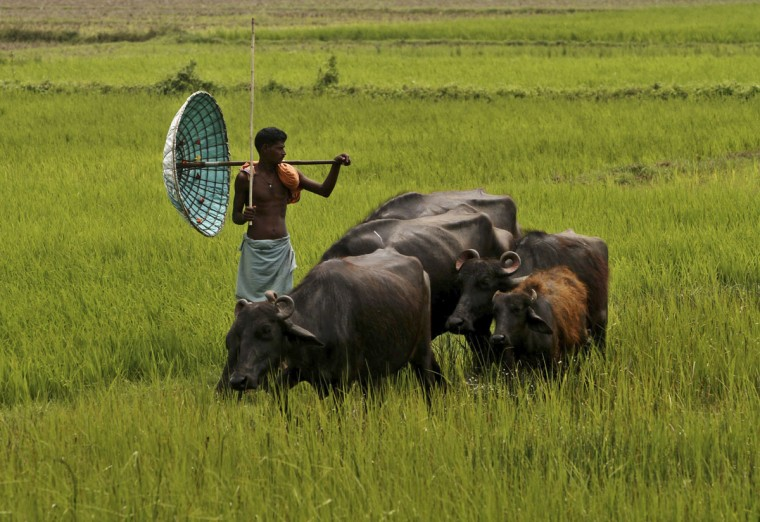 An Indian villager holds a traditional handmade umbrella as he grazes his buffaloes at a field on the outskirts of Bhubaneswar, India, Monday, March 30, 2015. (AP Photo/Biswaranjan Rout)