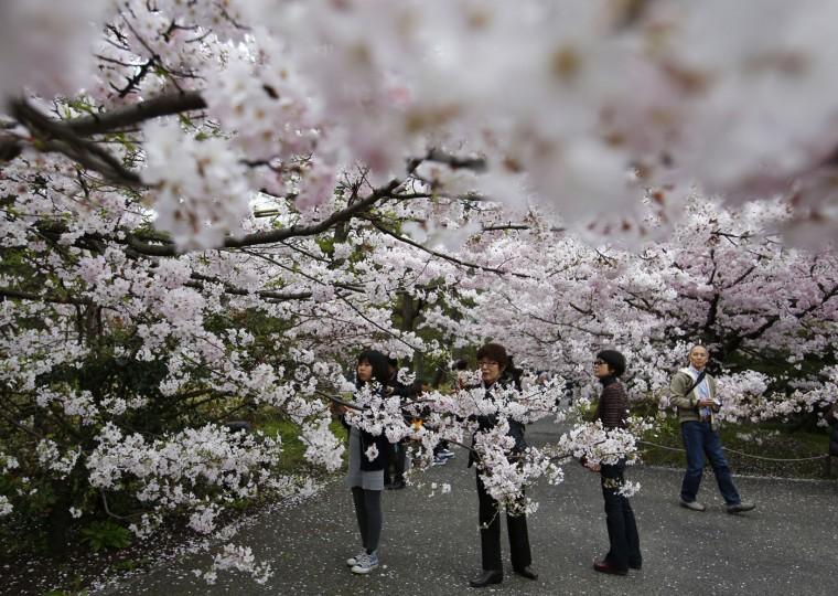 Women take photos of the blooming cherry blossoms near the Chidorigafuchi Imperial Palace moat in Tokyo, Sunday, March 29, 2015. (AP Photo/Shizuo Kambayashi)