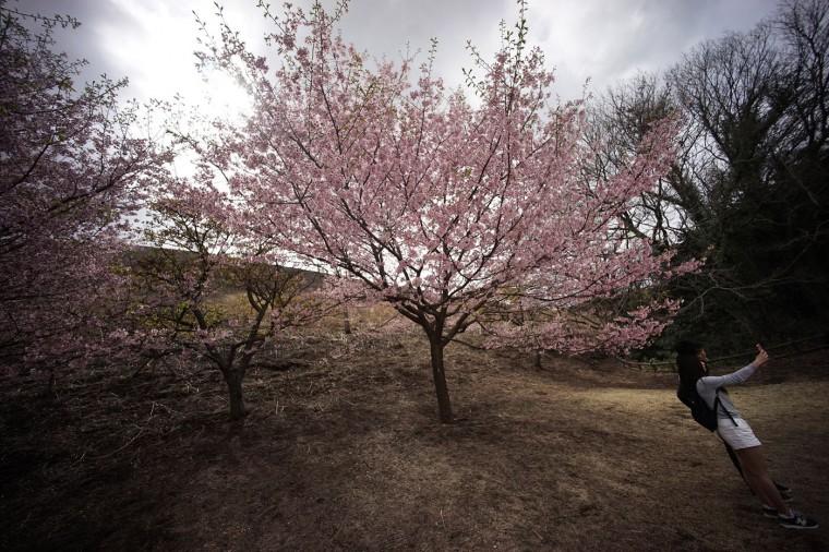 Visitors take a picture of blooming cherry blossoms at Sakura-no-sato in Ito, Shizuoka Prefecture, Japan, Sunday, March 29, 2015. (AP Photo/Eugene Hoshiko)
