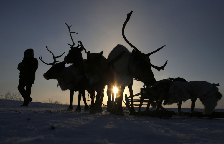 In this photo taken on Sunday, March 15, 2015, a man walks past reindeer at the Reindeer Herder's Day in the city of Nadym, in Yamal-Nenets Region, 2500 km (about 1553 miles) northeast of Moscow, Russia. The Reindeer Herder's Day is celebrated annually in Russiaís Yamal-Nenets region in the Arctic and for the Nenets people, it offers a chance to show their prowess in wrestling, high jumps and other traditional sports, but, above all, reindeer races. (AP Photo/Dmitry Lovetsky)