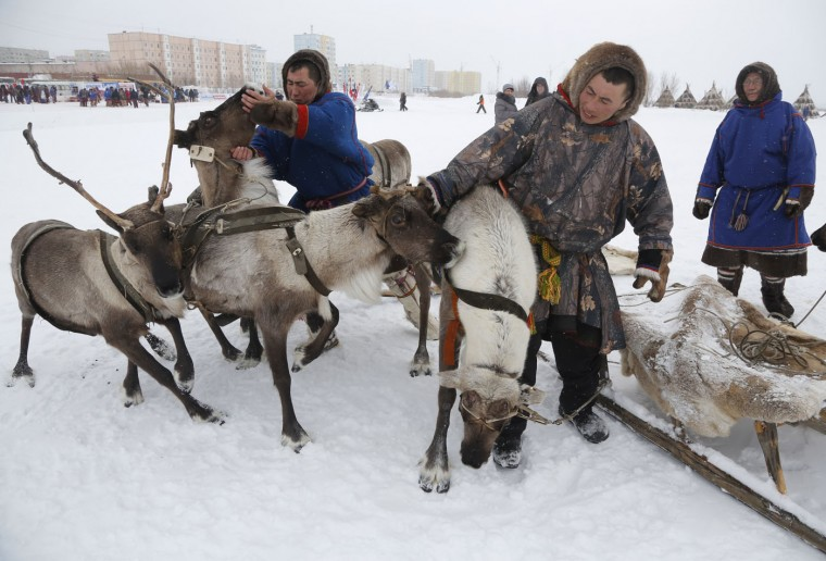 In this photo taken on Sunday, March 15, 2015, Nenets men prepare for reindeer races at the Reindeer Herder's Day holiday in the city of Nadym, in Yamal-Nenets Region, 2500 kilometers (about 1553 miles) northeast of Moscow, Russia. For the indigenous nomadic Nenets people, the Reindeer Herderís Day offers a chance to show their prowess in wrestling, high jumps and other traditional local sports, but, above all, reindeer races. (AP Photo/Dmitry Lovetsky)
