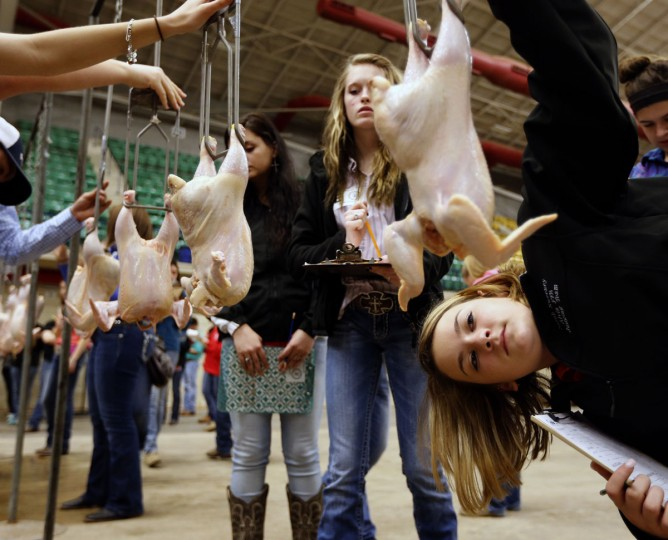 Sarah Sweeney, a sophomore at Alvin, Texas high school, right, examine a chicken with Meagan Almand, of Waxahachie, Texas, left, during the annual MCC Ag Invitational Wednesday, March 25, 2015, in Waco, Texas. About 4,800 FFA students from around the state competed in the one-day event competing in various categories including poultry judging, meat judging, nursery/landscape judging, floriculture judging, and livestock judging. (AP Photo/Waco Tribune Herald, Rod Aydelotte)
