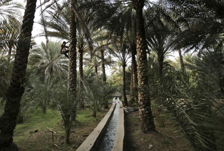 """Shahid Iqbal, a date farm worker from Pakistan, climbs up a palm tree over a fresh water canal based on the """"Falaj"""" traditional irrigation system at the Al Qattara Oasis in the city of Al Ain, United Arab Emirates, on Tuesday, March 10, 2015. In 2011, UNESCO named Al Ain as a world heritage site because of its oasis, its Falaj irrigation and its historical and archaeological significance. (AP Photo/Kamran Jebreili)"""