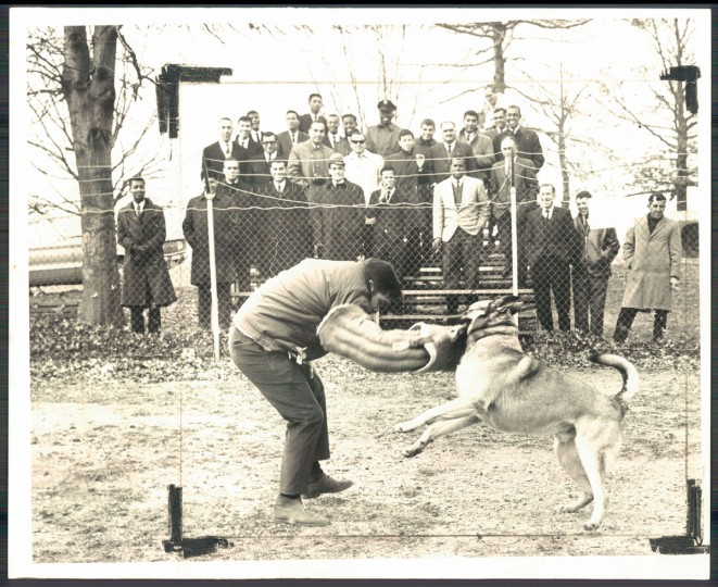K-9 Corps dogs of Baltimore City Police department stage a demonstration at the corps training area for 50 foreign dignitaries. (Ralph L. Robinson/Baltimore Sun, 1968)