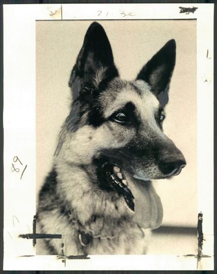 Howard County police dog, Schnaps. (Joe Willis/Baltimore Sun, 1978)