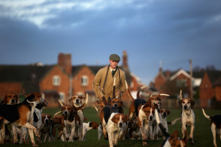 The hounds of the Atherstone Hunt are exercised by Hunstman Stuart Barton before they go out on a hunt on March 5, 2015 in Bosworth, England. The hunt is celebrating 200 years since it was formed. The historical hunt celebrated it's bicentenary with today's hunt starting from Bosworth. The hunt continues it's tradition with members paying a subscription and has 400 square miles of fox hunting ground within Warwickshire, Leicestershire and Staffordshire. (Photo by Christopher Furlong/Getty Images)