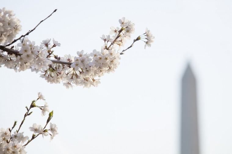 The Washington Monument is visible behind cherry blossoms in bloom along the Tidal Basin, April 11, 2015 in Washington, DC. According to the National Parks Service, the cherry trees are expected to be in peak bloom through Tuesday. (Drew Angerer/Getty Images)