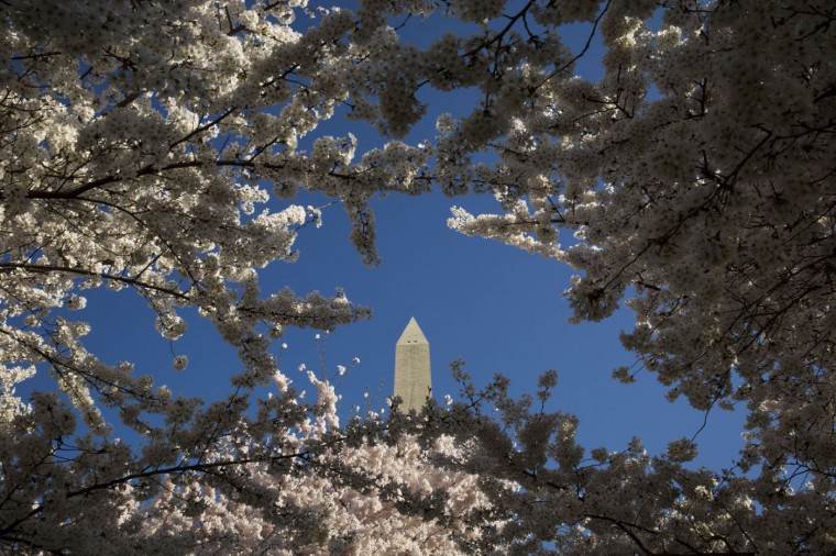 The Washington Monument is visible behind cherry blossoms in bloom near the Tidal Basis and National Mall, April 11, 2015 in Washington, DC. According to the National Parks Service, the cherry trees are expected to be in peak bloom through Tuesday. (Drew Angerer/Getty Images)