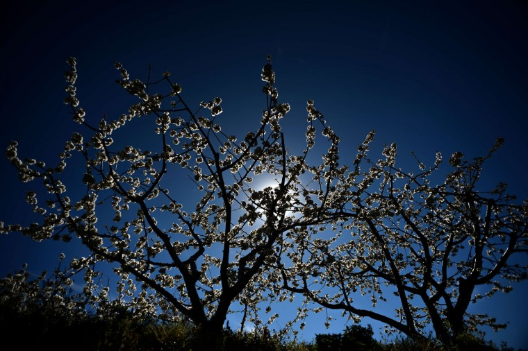 A cherry tree in full bloom is pictured in Jerte's Valley (Valle del Jerte) in Extremadura on April 2, 2015. Viewing cherry blossoms is a cultural event in Extremadura, where thousands of tourists turn out to admire them annually. (Dani Pozo/AFP/Getty Images)