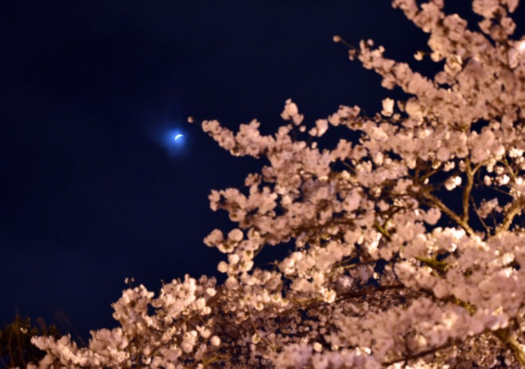 """A partial lunar eclipse is seen behind fully bloomed cherry blossoms in Utsunomiya in Tochigi prefecture, 100km north of Tokyo on April 4, 2015. Sky-gazers in part of the Pacific Rim enjoyed an """"unusually brief"""" total eclipse of the Moon. (Yoshikazu Tsunoyo/AFP/Getty Images)"""