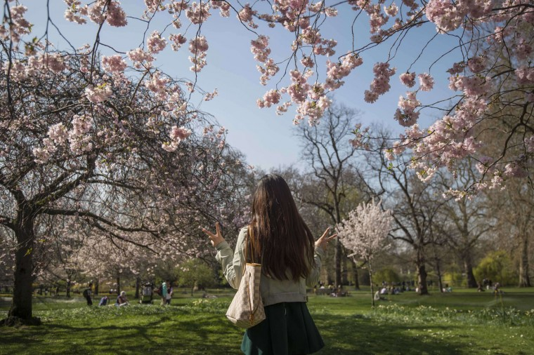 A women has her picture taken under cherry blossom in St James Park on April 7, 2015 in London, England. (Niklas Halle'n/AFP/Getty Images)
