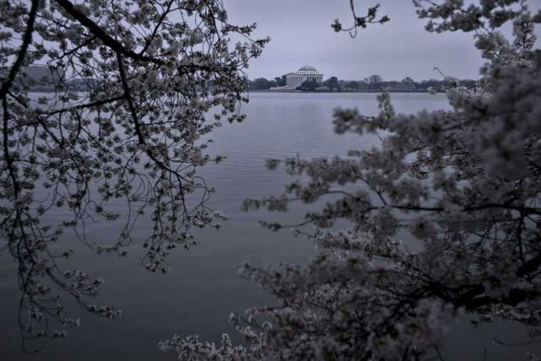 The Jefferson Memorial is seen as cherry trees blossom along the tidal basin on the National Mall April 9, 2015 in Washington, DC. The cherry trees on the National Mall, originally a gift from Japan, have begun to blossom with spring's arrival. (Brendan Smialowski/AFP/Getty Images)