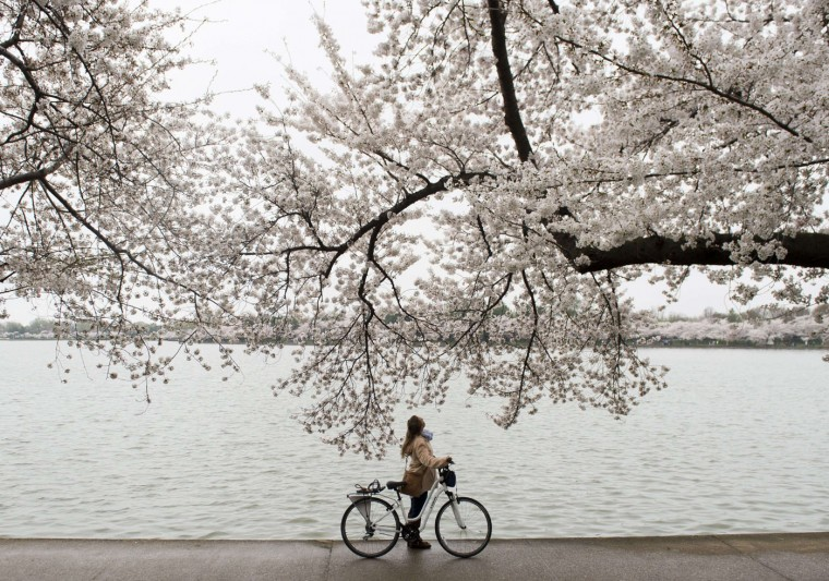 A bicyclist stops to look up at the cherry trees as they blossom around the Tidal Basin on the National Mall in Washington, DC, April 10, 2015. The cherry blossoms, originally a gift from Japan, will reach their peak bloom in the next several days. (Saul Loeb/AFP/Getty Images)