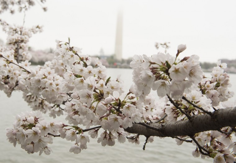 Cherry trees blossom around the Tidal Basin on the National Mall near the Washington Monument in Washington, DC, April 10, 2015. The cherry blossoms, originally a gift from Japan, will reach their peak bloom in the next several days. (Saul Loeb/AFP/Getty Images)