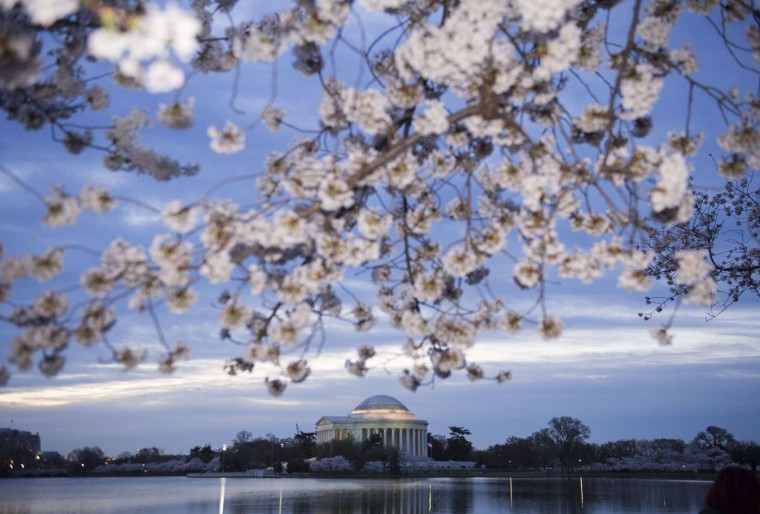 Cherry trees blossom around the Tidal Basin near the Jefferson Memorial at sunrise on the National Mall in Washington, DC, April 11, 2015. The cherry blossoms, originally a gift from Japan, reached their peak bloom yesterday. (Saul Loeb/AFP/Getty Images)