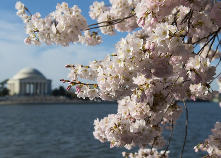 Cherry trees blossom around the Tidal Basin near the Jefferson Memorial on the National Mall in Washington, DC, April 11, 2015. The cherry blossoms, originally a gift from Japan, reached their peak bloom yesterday. (Saul Loeb/AFP/Getty Images)
