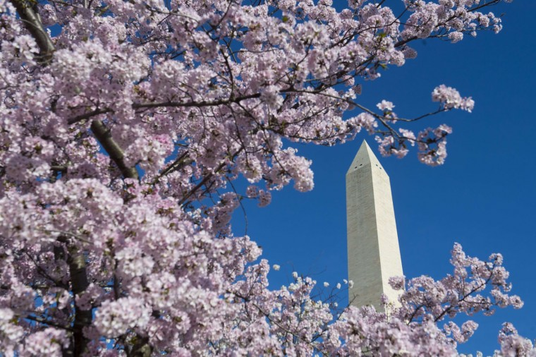 Cherry trees blossom near the Washington Monument on the National Mall in Washington, DC, April 11, 2015. The cherry blossoms, originally a gift from Japan, reached their peak bloom yesterday. (SAUL LOEB/AFP/Getty Images)