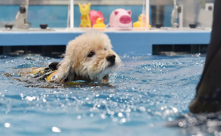 This picture taken on April 17, 2015 shows a dog swimming in a pool of the Japanese pet company Aeon Pet Pecos. Aeon Pet, a subsidiary of the Aeon supermarket chain, opened last year the dog nursing home with full-time care, providing a gym, a swimming pool, and some kennel spaces in accordance with the size of the dog. (Kazuhiro Nogi/AFP/Getty Images)