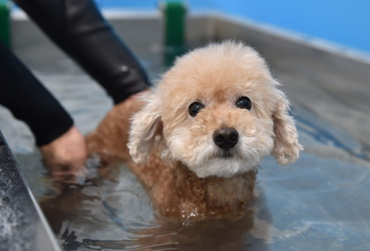 This picture taken on April 17, 2015 shows a dog walking in a small pool of the Japanese pet company Aeon Pet Pecos. Aeon Pet, a subsidiary of the Aeon supermarket chain, opened last year the dog nursing home with full-time care, providing a gym, a swimming pool, and some kennel spaces in accordance with the size of the dog. (Kazuhiro Nogi/AFP/Getty Images)