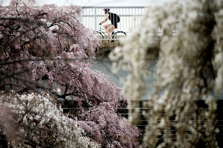 A bicyclist makes their way past cherry blossoms trees in Washington, Tuesday, April 7, 2015. Officials are calling for a peak bloom period from April 11-14th. (AP Photo/Andrew Harnik)