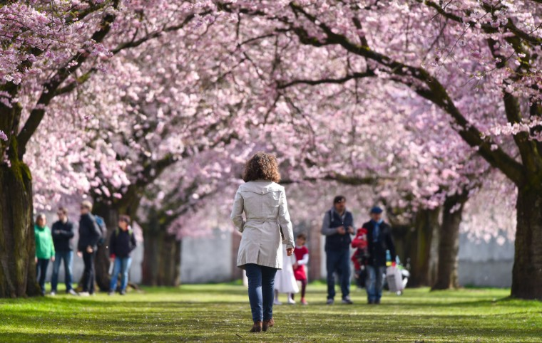 Strollers walk past a row of Japanese cherry blossom trees at the Schlossgarten park in Schwetzingen, Germany, Tuesday, April 7, 2015. (AP Photo/dpa, Uwe Anspach)
