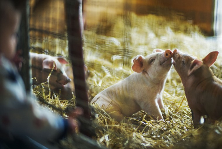 At the Wells Fargo family farm at the Minnesota Zoo, two little piglets got to know each other as Logan Camp looked in the pen, Apple Valley, Minn., Wednesday, April 1, 2015. (AP Photo/The Star Tribune, Richard Tsong-Taatarii)