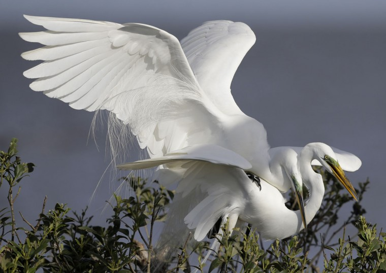 Two great egrets mate in their nest in the mangroves on an island in Cat Bay, in Plaquemines Parish, La., Sunday, April 19, 2015. (AP Photo/Gerald Herbert)