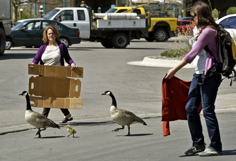 Noreen Humes, left, and Danielle Lattuga herd two geese and a gosling toward the Clark Fork River after the birds wandered into the downtown area on Thursday, April 24, 2015 in Missoula, Mont. (Tom Bauer/The Missoulian via AP)