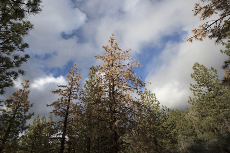 Dead and dying trees are seen in a forest stressed by historic drought conditions in Los Padres National Forest on May 7, 2015 near Frazier Park, California. According to an aerial survey conducted by the U.S. Forest Service in April, about 12 million trees have died in California forestlands in the past year because of extreme drought. The dead trees add to the flammability of a drying landscape that is increasingly threatened by large, intense wildfires. In some areas where extremely hot wildfires have occurred, as in the 437-square mile Cedar fire that burned across San Diego County in 2003, most trees have died and chaparral brush is displacing the forests and animals that rely upon them. The findings of the study were compared to similar surveys taken in July 2014. (David McNew/Getty Images)