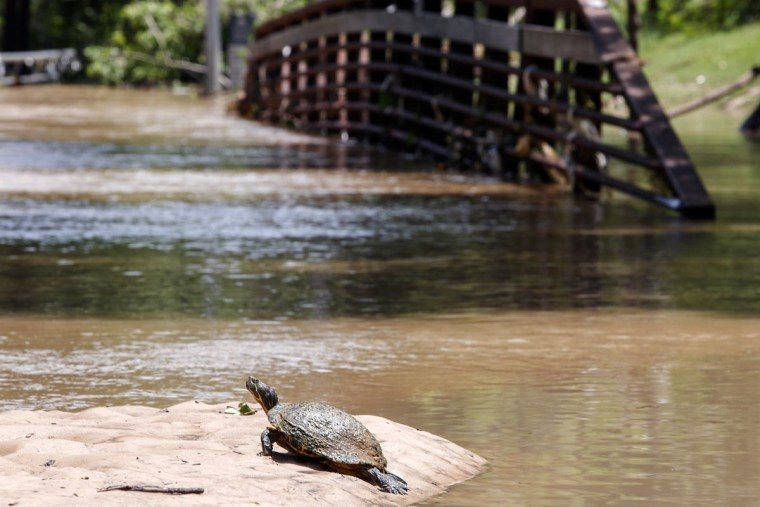 A turtle suns itself in front of submerged pedestrian bridge at Buffalo Bayou park after massive flooding May 27, 2015 in Houston, Texas. At least 19 people have been killed across Texas and Oklahoma after severe weather, including catastrophic flooding and tornadoes, struck over the past several days, with more rain expected. (Photo by Eric Kayne/Getty Images)