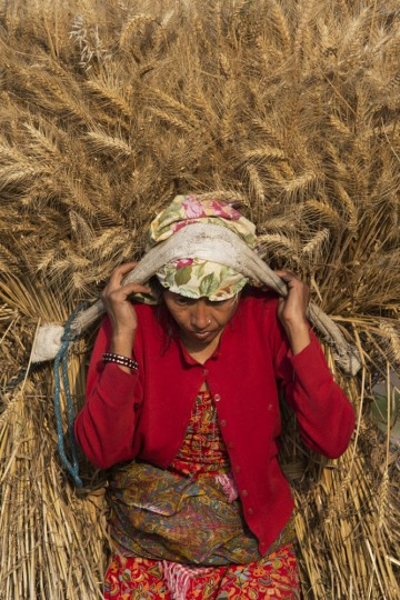 A Nepalese farmer carries a bundle of harvested wheat in Nalinchowk, near Kathmandu, Nepal, Thursday, May 14, 2015. More than half of Nepal's population work in agriculture. With tens of thousands of barns and storage sheds destroyed by the earthquakes, many small farmers now have no place to store their crops this year. (AP Photo/Bernat Amangue)