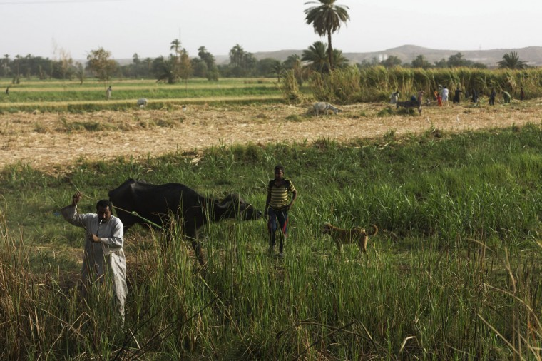 In this Tuesday, April 21, 2015 photo, Salama Osman leads his buffalo to a field to feed as his son Hamdy, 13, watches in the village of Abu al-Nasr, about 770 kilometers (480 miles) south of Cairo. Osman, 46, is on one of his two trips a year back home where he can relax with his family, a rare respite from his hectic job back in the always-bustling Egyptian capital. The money he makes in Cairo can support all of his family, forcing him to continue his life in the big city. (AP Photo/Hiro Komae)