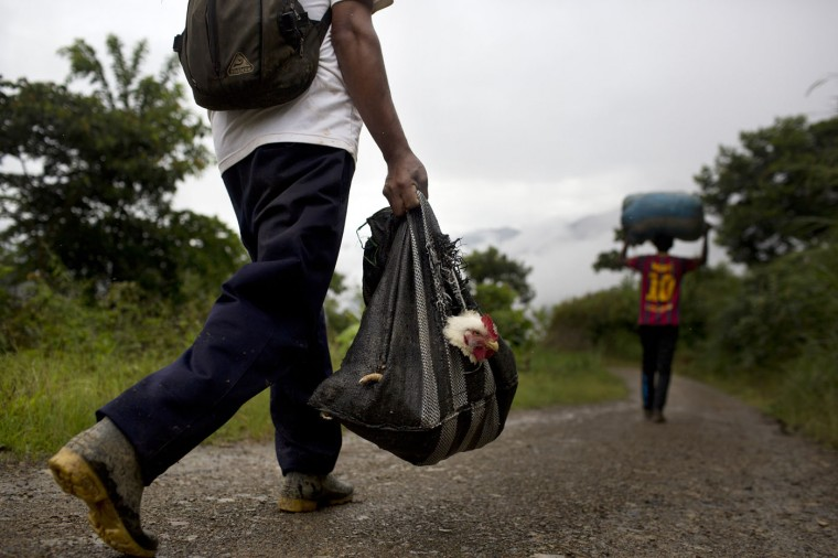 In this March 16, 2015 photo, Asuncion Huallpa walks to a coca field that needs harvesting, and carries a chicken that will be slaughtered for his lunch, in La Mar, province of Ayacucho, Peru. Hauling cocaine out of the valley is about the only way to earn decent cash in this region where a farmhand earns less than $10 a day. Beyond extinguishing young lives, the practice has packed Peruís highland prisons with backpackers while their bosses evade incarceration. (AP Photo/Rodrigo Abd)