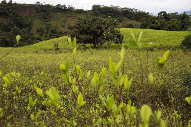 In this March 14, 2015 photo, a coca field is seen from the side of a road in La Mar, province of Ayacucho, Peru, located in the remote Apurimac, Ene and Mantaro river valley, where 60 percent of Peruís cocaine originates. (AP Photo/Rodrigo Abd)