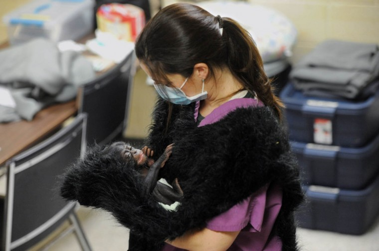 Claire MacNamara, Chimp Forest Area manager, holds Keeva, a chimpanzee born two weeks ago at the Maryland Zoo in Baltimore. MacNamara, wearing a fake fur vest that Keeva can grab on to, is on an eight hour shift of continuously holding her. (Kim Hairston/The Baltimore Sun)