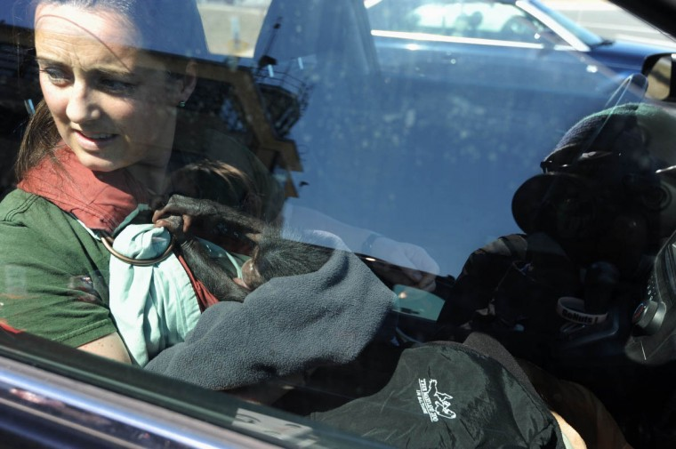 Claire MacNamara looks out the car window as she holds Keeva, a chimpanzee born recently at the Maryland Zoo in Baltimore. MacNamara and Keeva will be flying from Martin State Airport to Tampa, FL, were Keeva will be placed with a surrogate chimpanzee at Tampa's Lowry Park Zoo. (Kim Hairston/The Baltimore Sun)
