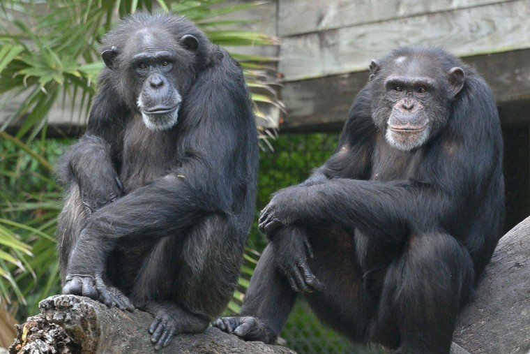 Keeva's surrogate mother, Abby (right) is photographed with fellow primate, Twiggy (left) at the Lowry Park Zoo. (Dave Parkinson/Tampa Lowry Park Zoo)