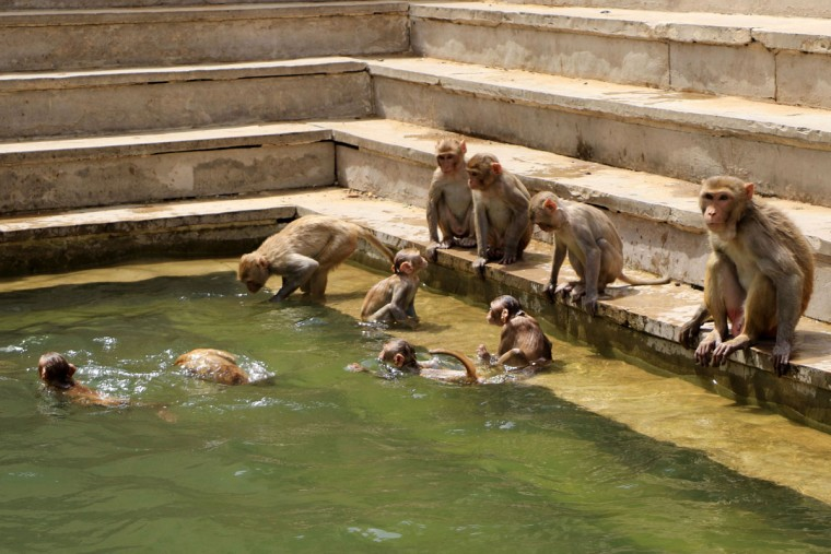 Macaques monkeys cool themselves off to beat the scorching heat on May 26, 2015 at Galta ji Temple in Jaipur, India. Areas across India have been reeling under a heat wave with temperatures soaring to over 46 degree Celsius. (Vishal Bhatnagar/Zuma Press/TNS)