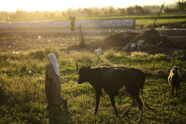 A farmer leads her cattle on her way home at the end of the day in the Nile Delta town of Behira, 300 kilometers (186 miles) north of Cairo, Egypt, Wednesday, May 6, 2015. Farmers are busy with wheat harvest. (AP Photo/Mosa'ab Elshamy)