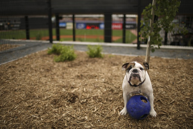 Joe Bukowski's English Bulldog, Mugsy Bogues, visits a dog park in St. Paul, Minn., Monday, May 18, 2015. (Jeff Wheeler/Star Tribune via AP)