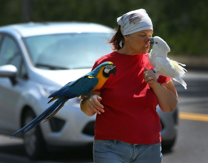 Trudy Ehrhart nuzzles her umbrella cockatoo named Powder, while her blue-and-gold macaw, Oscar, rides along during her daily walk along W. 18th Ave. in Eugene, Ore. Friday, May 1, 2015. Ehrhart has owned both birds for more than 25 years and says she thinks Oscar, the macaw, is at least 60 years old. Ehrhart says both birds love the chance to get out into the sunshine. (Brian Davies/The Register-Guard via AP)