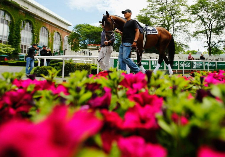 Tale of Verve walks through the Paddock at Belmont Park on June 4, 2015 in Elmont, New York. (Photo by Al Bello/Getty Images)