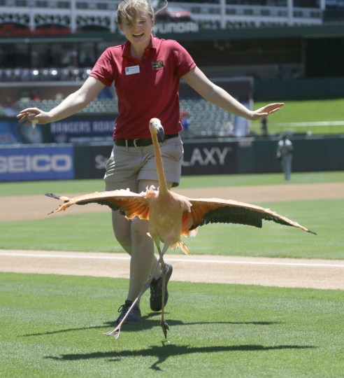 A pink flamingo tries to get away from its keeper during a pre-game presentation by the Dallas Zoo before a baseball game between the Oakland Athletics and Texas Rangers in Arlington, Texas, Thursday, June 25, 2015. (AP Photo/LM Otero)