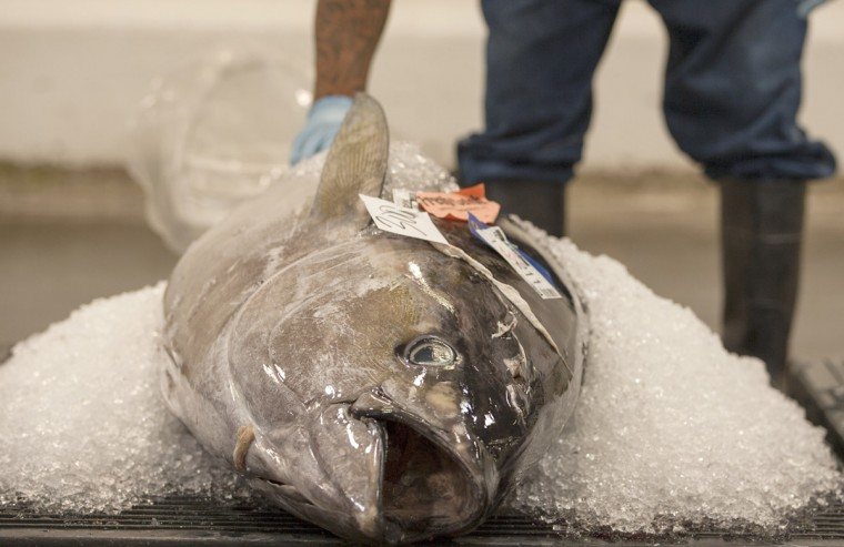 An ahi tuna sits packed in ice waiting to be auctioned at United Fishing Agency in Honolulu, Thursday, June 18, 2015. Fresh fish arrive daily and are auctioned off to the highest bidders based on quality and market value. The auction is the biggest in the United States and one of the largest in the world. (AP Photo/Caleb Jones)