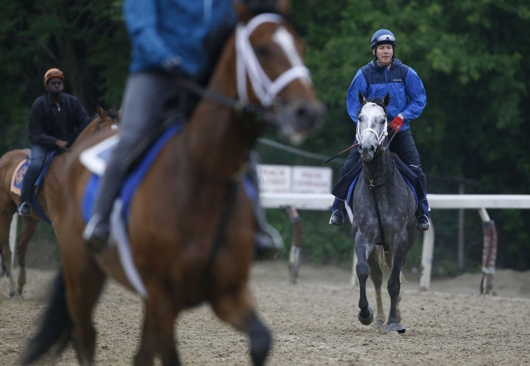 Belmont Stakes contender Frosted, with exercise rider Renzo Morales up, trots around the track during a workout at Belmont Park, Monday, June 1, 2015, in Elmont, N.Y. Frosted will be one of several contenders in Saturday's 147th running of the Belmont Stakes horse race, where Kentucky Derby and Preakness winner American Pharaoh will attempt to win a Triple Crown. (AP Photo/Julie Jacobson)