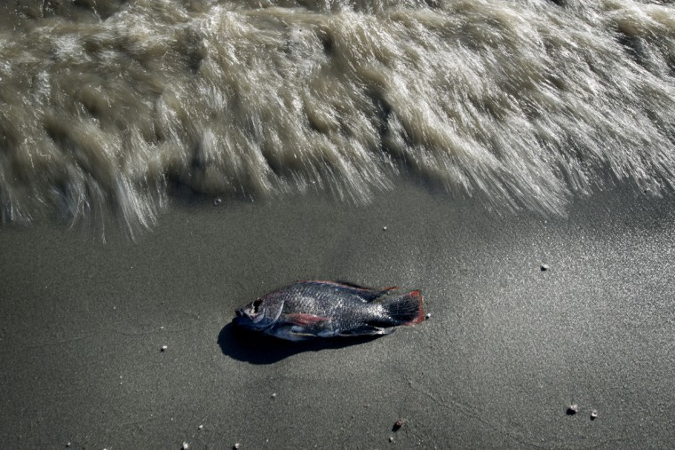 Dead fish cover the shoreline of the Salton Sea in Imperial County, California. Some scientists attribute the deaths to increasing salinity as the sea shrinks and warm weather. Bonnie Jo Mount/Washington Post