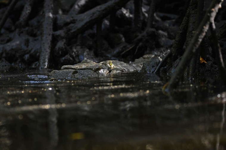 A four-meter-long crocodile (Crocodylus acutus) remains in the waters of an area protected by ecological organizations in Barra de Santiago, El Salvador. (Marvin Recinos/Getty Images)