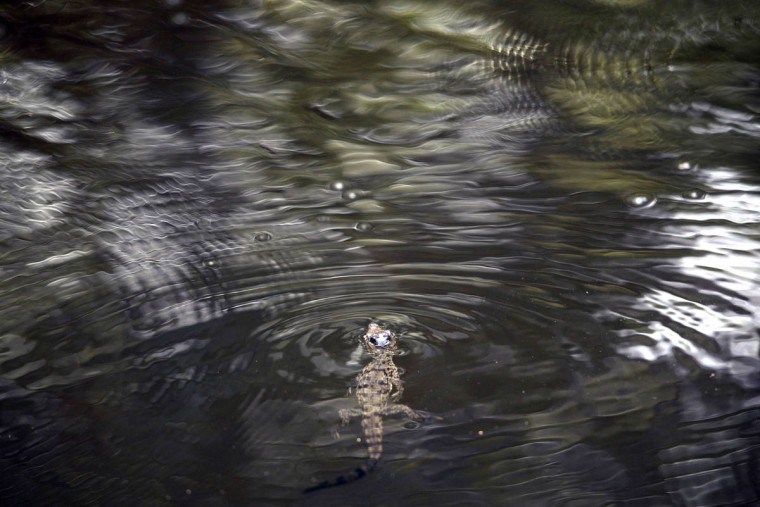 A baby crocodile (Crocodylus acutus) is released on the banks of a stream protected by authorities in Barra de Santiago,El Salvador. (Marvin Recinos/Getty Images)