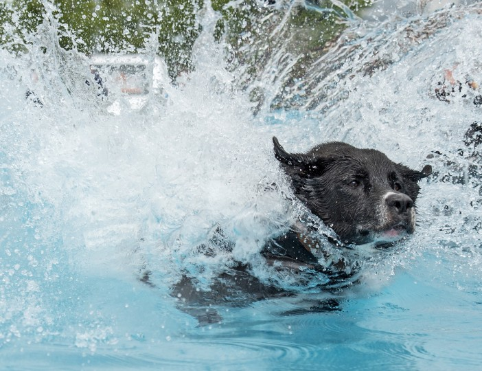 Europoean Champion half-breed dog 'Balu' jumps into the water during the dog diving competition during the International pedigree dog and purebred cat exhibition in Erfurt, Germany. Dogs and cats from 21 countries take part at the exhibition and the different competitions. (Jens Meyer/Associated Press)