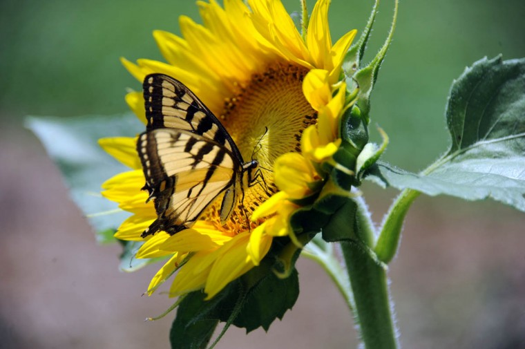 A tiger swallowtail butterfly on a sunflower in the Maryland Agricutural Resource Council (MARC) field. People are invited to pick their own sunflowers at $1.00 per stem or $10 per dozen. The money raised benefits MARC. (Kim Hairston/Baltimore Sun)